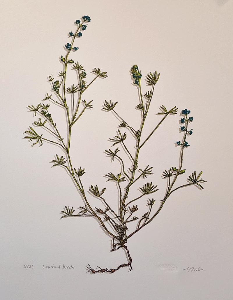 Lupinus bicolor