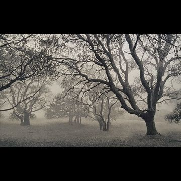Oaks in Fog