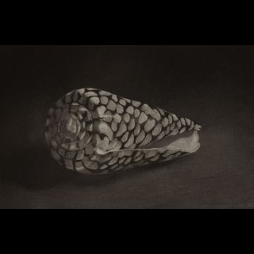 Rembrandt's Shell